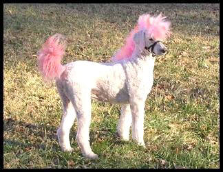 The rare and much desired PonyDoodle - order yours today!
