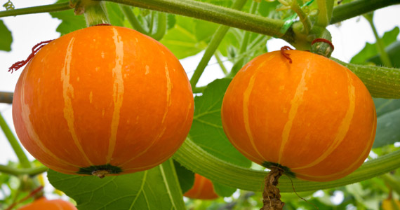 Grow it yourself: pumpkin