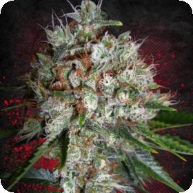 big-bud-xxl-feminized_ministry_of_cannabis_0