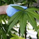 El TC declara inconstitucional la ley foral que regula las asociaciones de consumidores de cannabis en Navarra