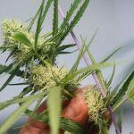 El Parlamento panameño aprueba en primer debate uso medicinal de la marihuana