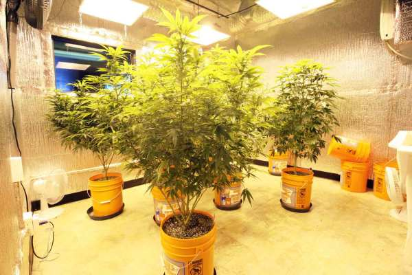 medical marijuana grow room