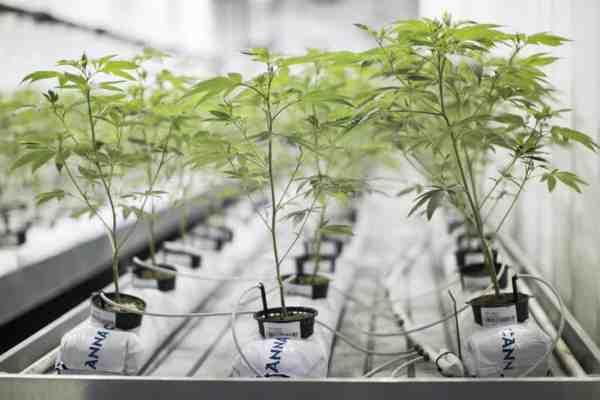 Hydroponics Setup For Cannabis Grow Op