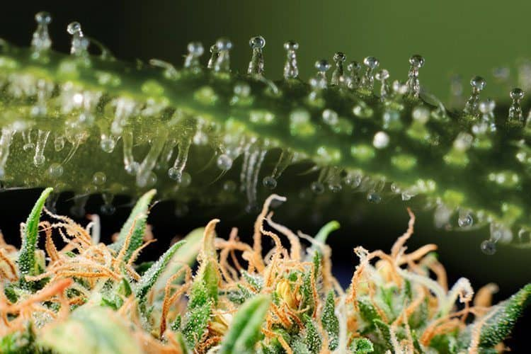 Clear Trichome Heads Lead Harvesting Window