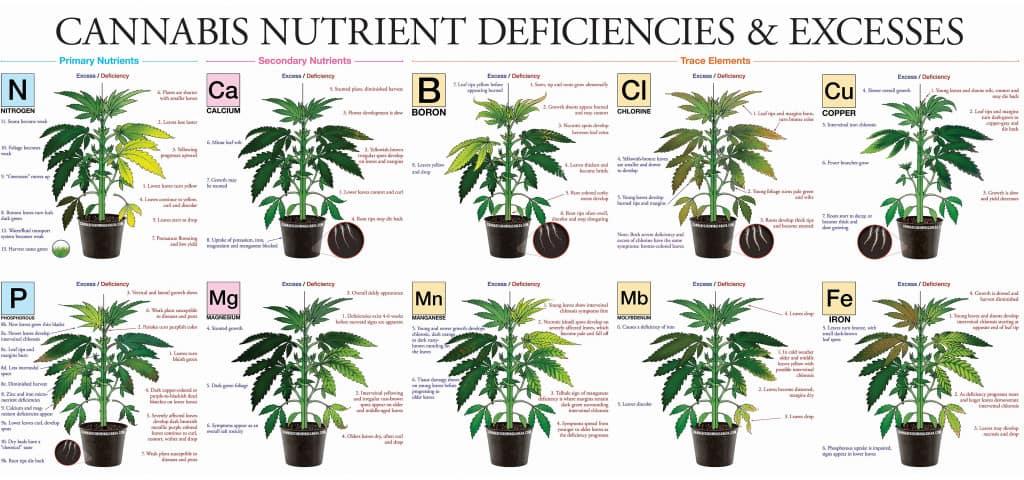 Ten nutrient deficiencies in cannabis plants illustrated
