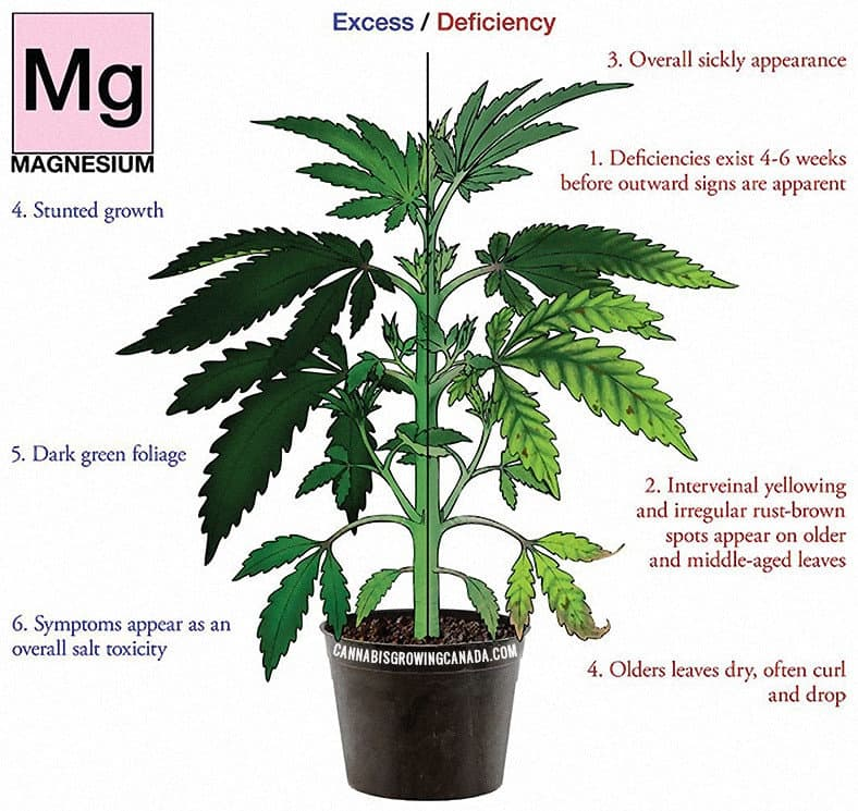 Cannabis Plant with Magnesium Deficiency