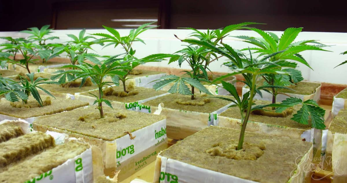 Cannabis plants growing in hydroponic systems