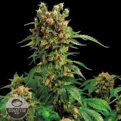 California Hash Plant cannabis seeds