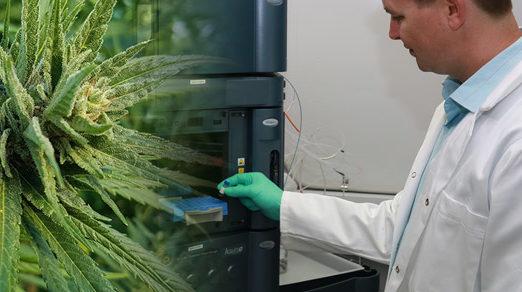 THC Global Scientist Plants - Latest Cannabis News - Cannabiz