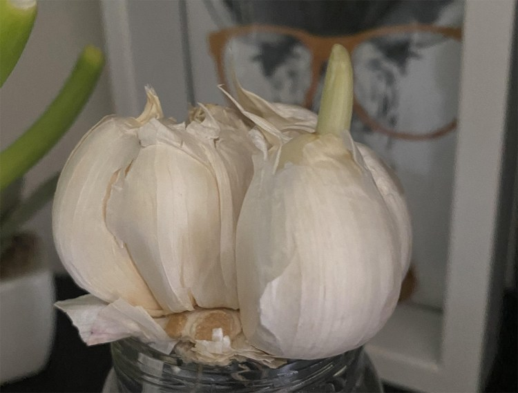 Regrowing Garlic from Garlic Cloves