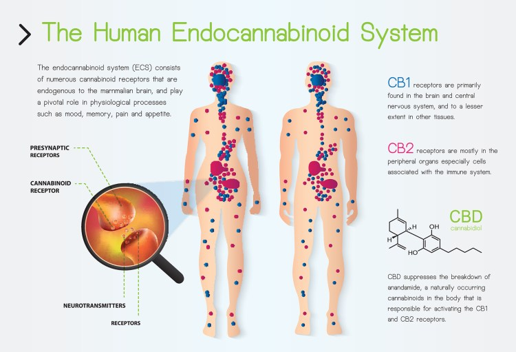 The Human Endocannabinoid System