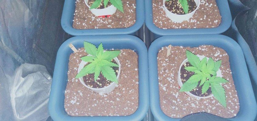 Cannabis in 2 weeks grown indoors