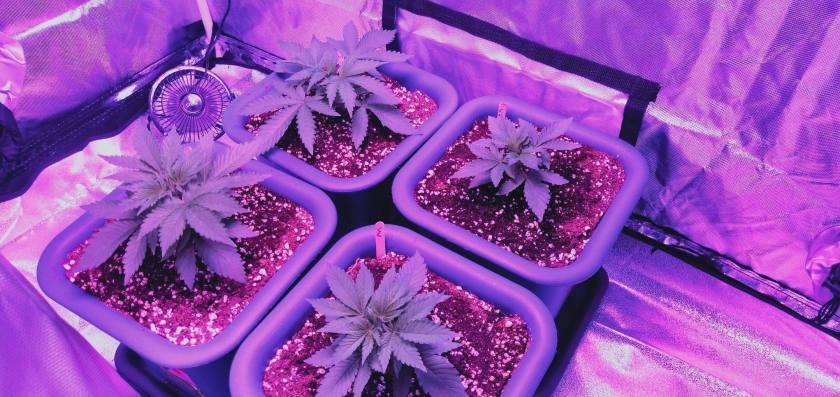 Marijuana indoors at 23 days