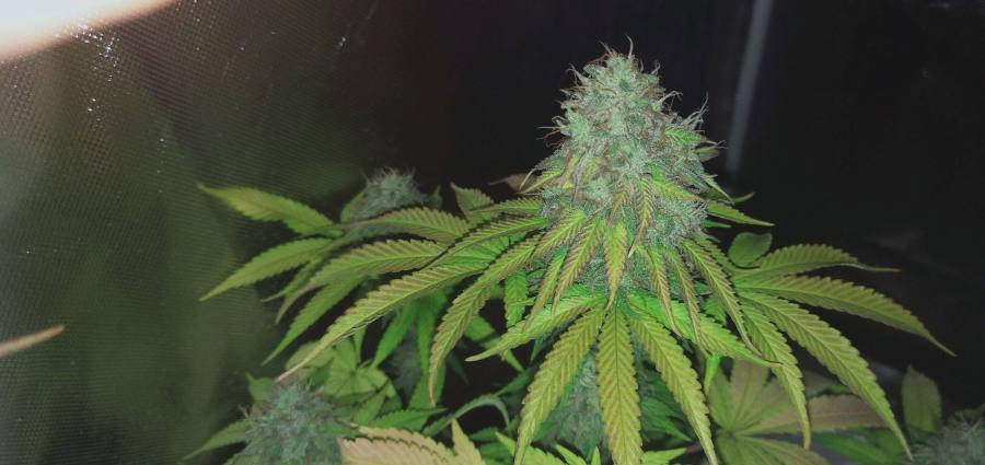 Lights off cannabis bud grown indoors 2021
