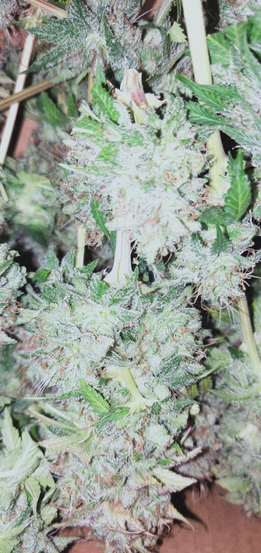 ILGM's White widow grown indoors up close shot