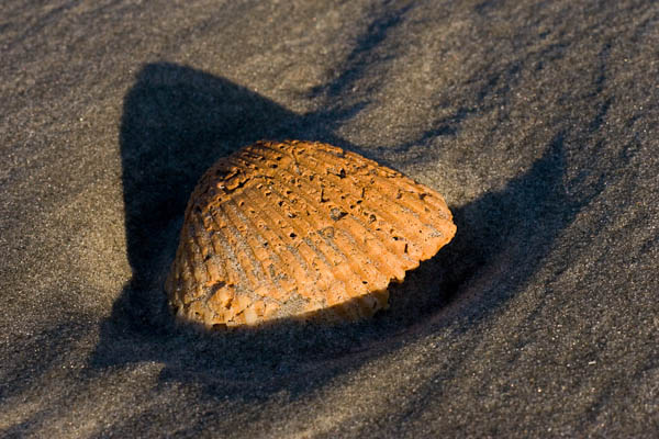 Curved Seashell
