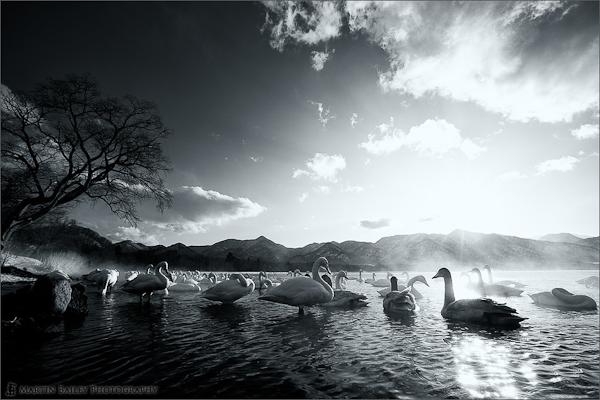 Kussharo Lake Swans