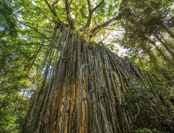 Curtain Fig Tree on the Atherton Tablelands