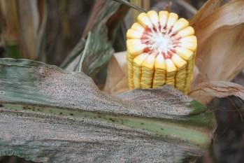 Corn tar spot symptoms