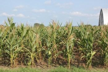 Tar spot-impacted corn field