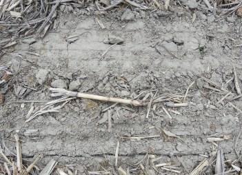 Soybean seedlings pushing through soil.