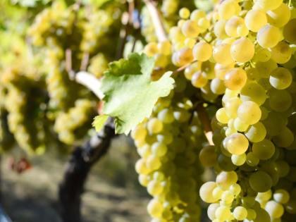 Viognier, un vitigno che profuma di storia