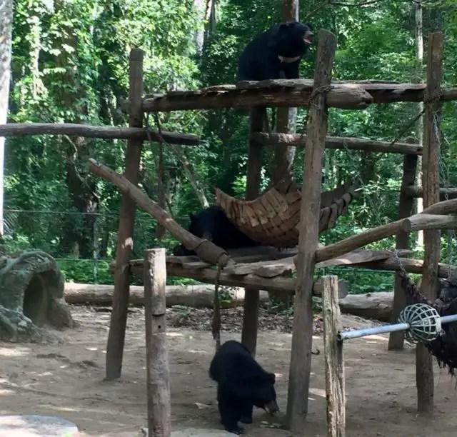 Asiatic Black Bears at the Bear Rescue Centre near Luang Prabang in Laos
