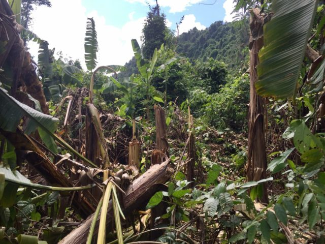 Typhoon flattened Banana Valley in Phong Nha-ke Bang national Park, Vietnam