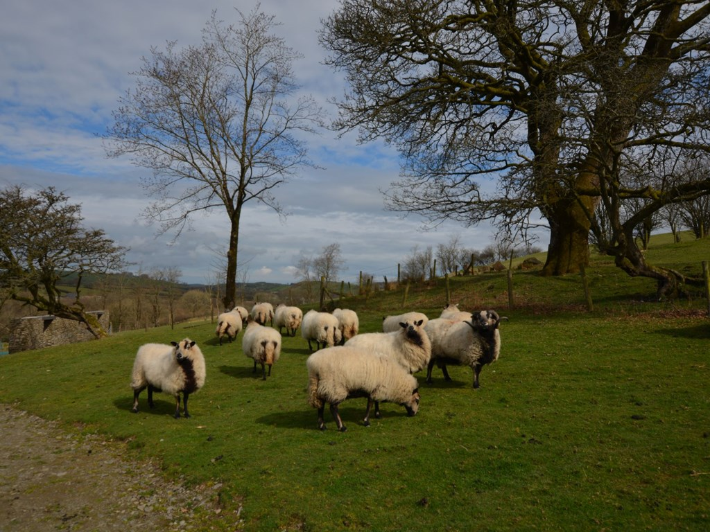 Our badger faced sheep sunning themselves on the farm