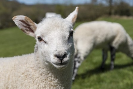 One of the pet lambs on the farm