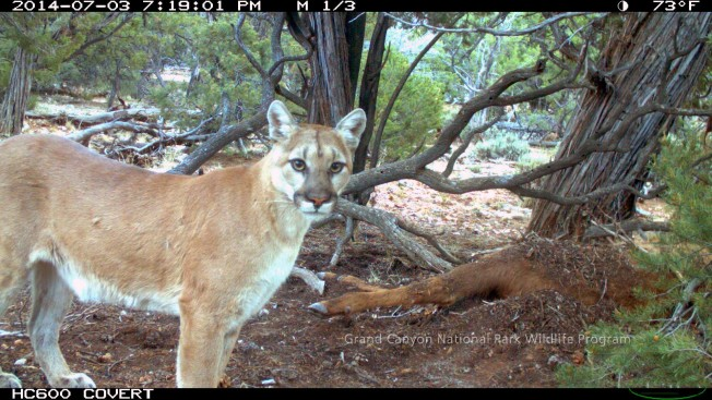 Camera trap photo of mountain lion and elk carcass at Grand Canyon National Park
