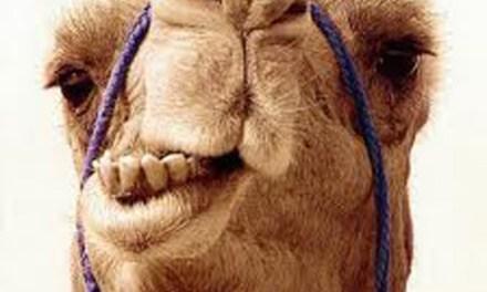 Il diciottesimo cammello