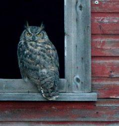 Horned Owl Alberta 2016 AGAR