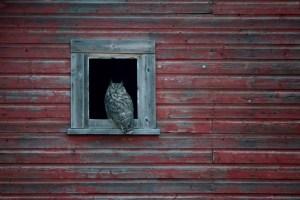 Prairie Horned Owl Photo: Bob Agar 2016