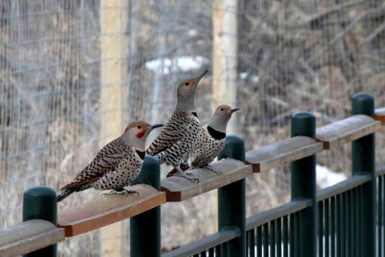 Trio of Northern Flickers, Bob Agar Photograher