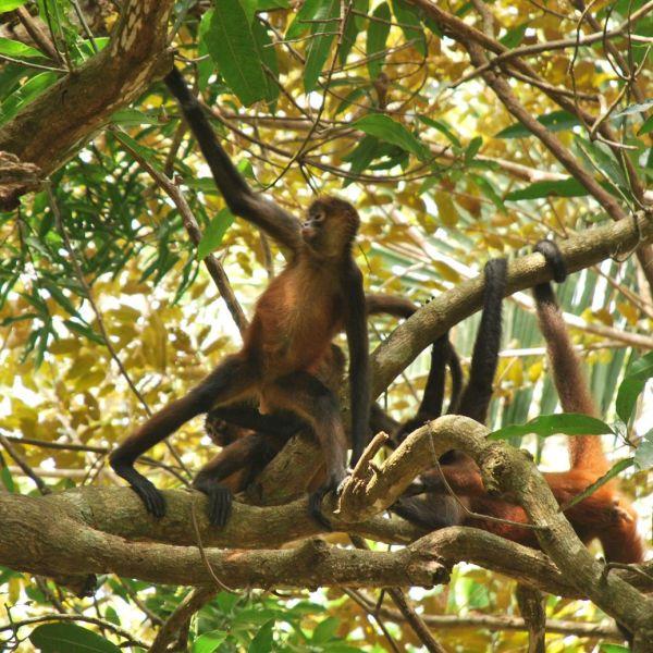 Costa-Rica Corcovado Singe