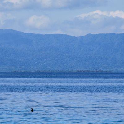 San Blas dauphin