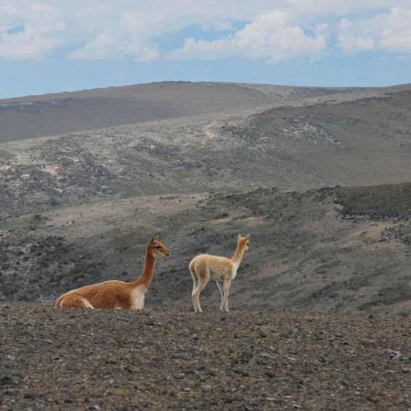 Chimborazo vicunas (2)