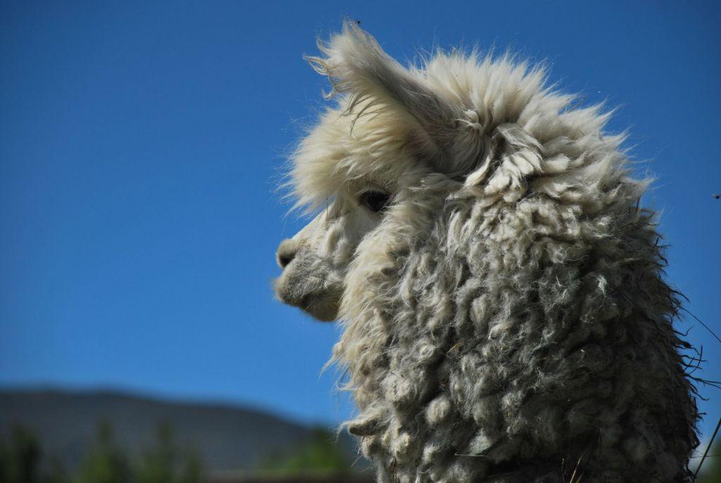 Cotopaxi Lama