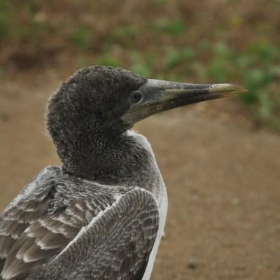 Isla PLata oiseau