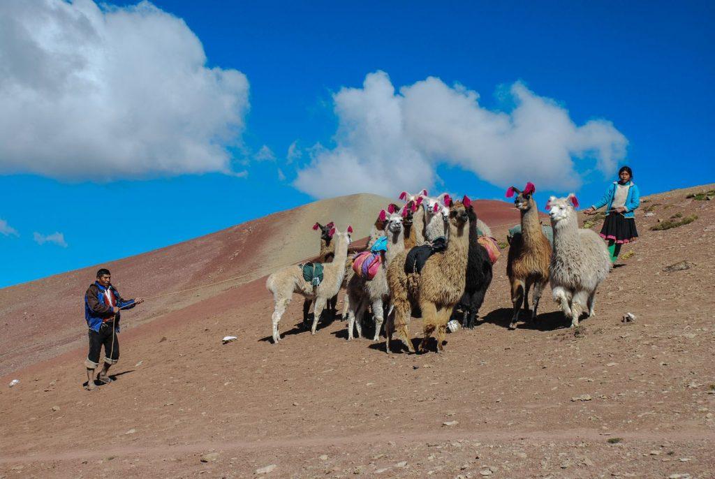 Lamas_Pérou