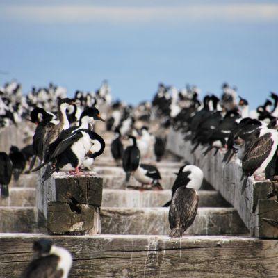 Punta Arenas_Cormorans