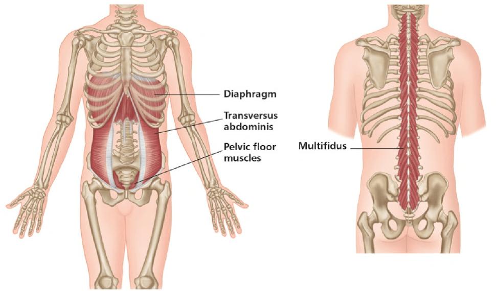 Image result for multifidus transversus abdominis