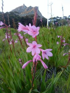 Purple Watsonia (Watsonia borbonica) on the slopes of Table Mountain in Spring