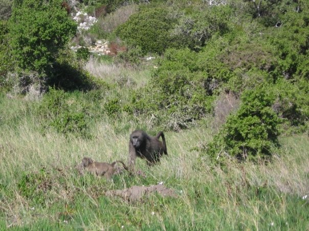 Chacma Baboons, Cape Point