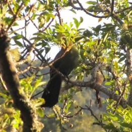 Knysna Loerie (Tauraco corythaix), De Vasselot Rest Camp, Nature's Valley