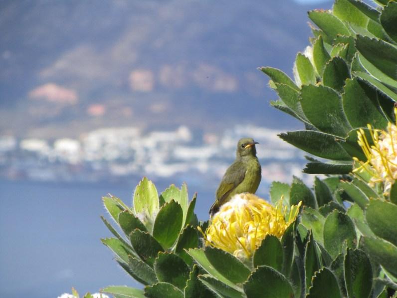Juvenile female Orange-breasted Sunbird