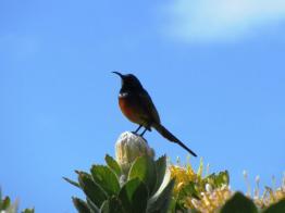 Male Orange-breasted Sunbird