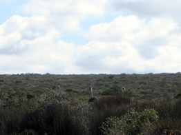 Ostrich, West Coast National Park