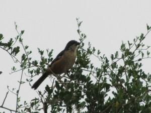 Southern Boubou Shrike, Laniarius ferrugineus
